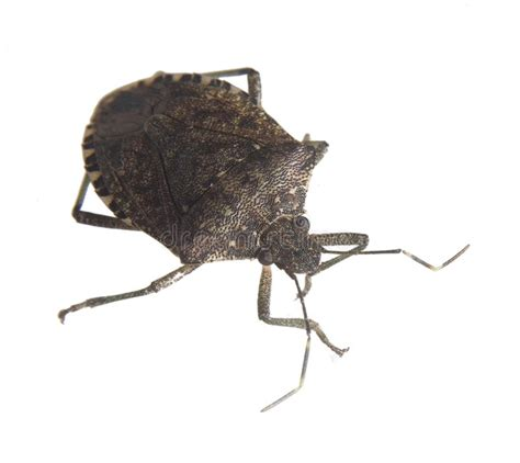 dounload bug xl stink bug stock photo image of hair antennae eyes