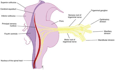 what are the divisions of the surgery section based on cranial nerve innervation of ocular structures