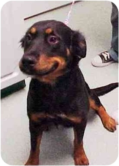 setter rottweiler mix mandy adopted scottsdale az gordon setter rottweiler mix