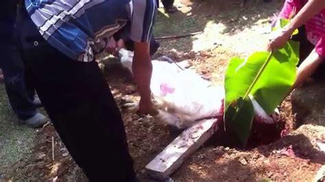 Kambing Kurban pemotongan kambing kurban 1435h