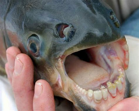 a fish with human like teeth was in california