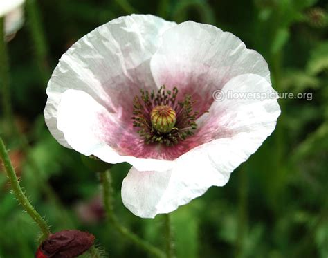 white poppy white poppy flower www imgkid the image kid has it
