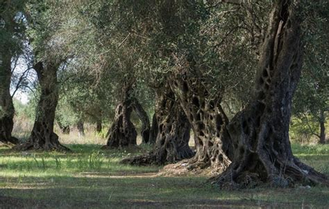 olive tree wallpaper wallpaper olive evil trees images for desktop section