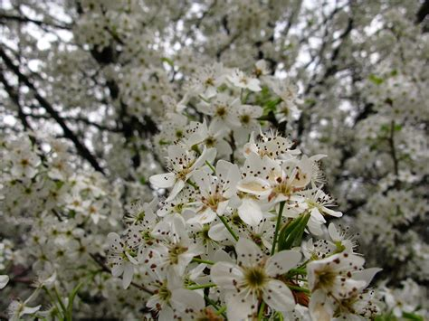 file white pear flowering tree west virginia