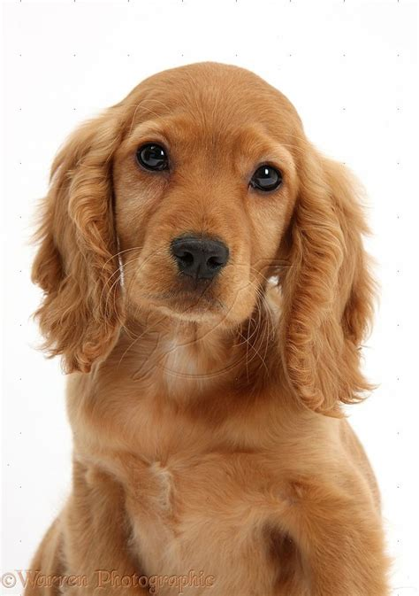 spaniel puppy 25 best ideas about golden cocker spaniel on golden cocker spaniel