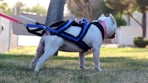 weight pulling harness american bully and weight pull harness