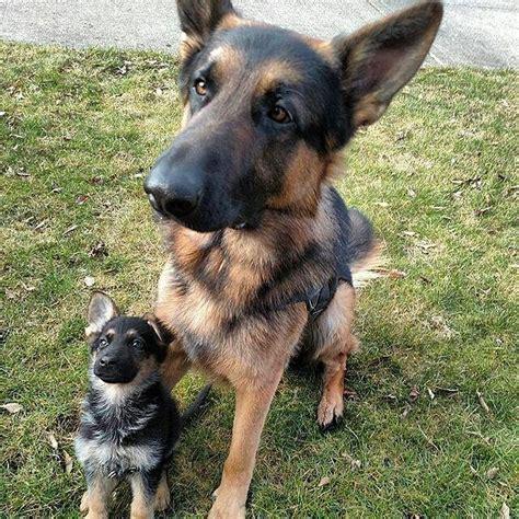 34 best air security forces images on german shepherd puppies german