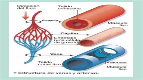 imagenes pdf que son vasos sanguineos