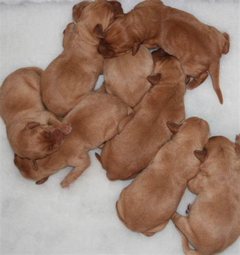 puppy development newborn lab puppies www pixshark images galleries with a bite