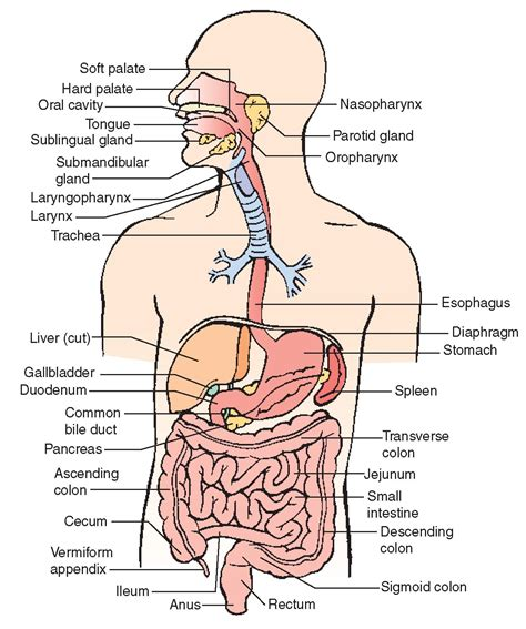 diagram of the the digestive system diagram labeled anatomy human