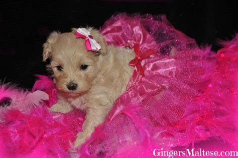 yorkie mix puppies for sale in nc teacup maltipoo for sale in nc breeds picture