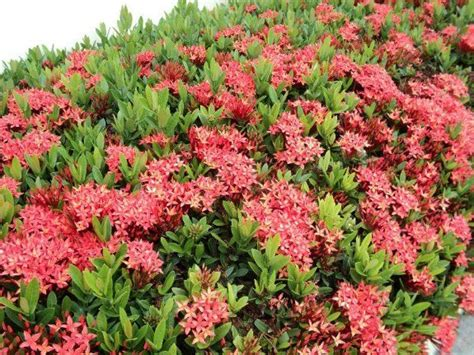 Asoka Top Murah ixora to be the same species and may all be
