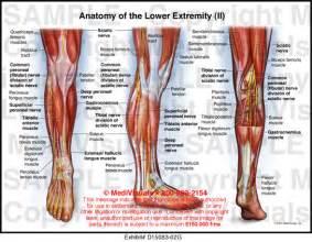 Anatomy of the knee ligaments humananatomychart info
