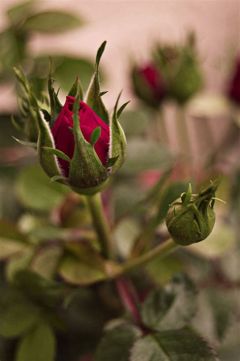 roses rose buds and ornate 25 best ideas about buds on roses