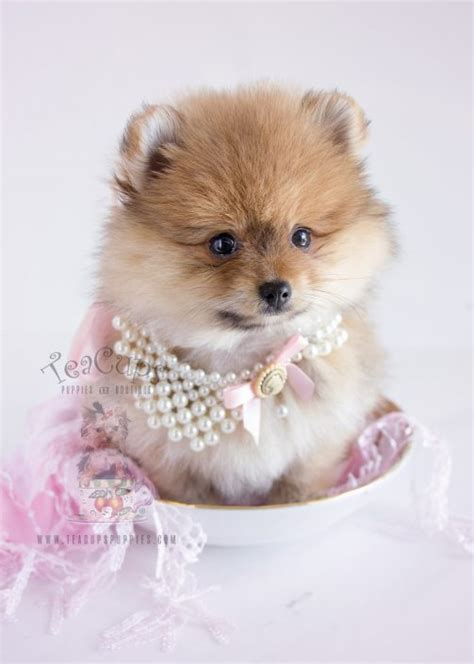 teacup pomeranian puppies sale indiana tiny teacup pomeranians and pomeranian puppies for sale by teacups teacups puppies