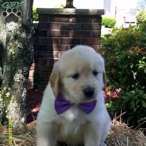 boulder golden retrievers golden retriever puppies for sale greenfield puppies