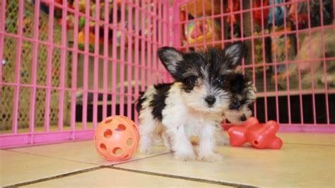 schnorkie puppies for sale adorable schnorkie puppies for sale in ga near atlanta at puppies for sale