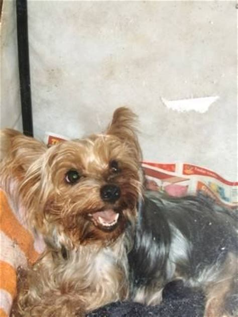 silver hair yorkie gt gt cranston lost yorkie dyer ave yorkie lost on cranston providence line