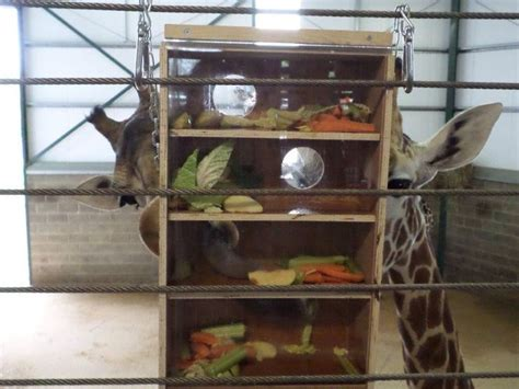 puzzle feeder puzzle feeder for giraffe banham zoo enrichment zoos puzzles and giraffes