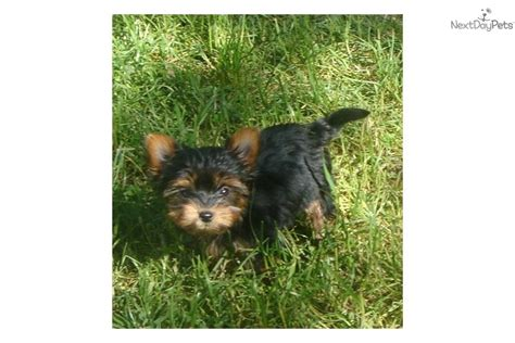 yorkie oregon terrier yorkie puppy for sale near roseburg oregon d526e1e2 ae31