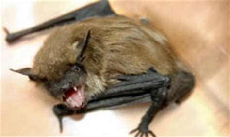 how much are rabies for dogs rabies risk bats vs dogs rabies risk bats vs dogs howstuffworks