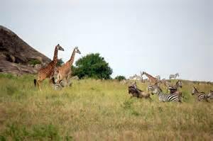 kenya or tanzania safari better tanzania safari tours time to experience wildlife