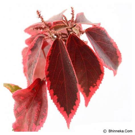 Acalypha Wilkesiana Blaze jual kebun bibit tanaman acalypha wilkesiana blaze murah