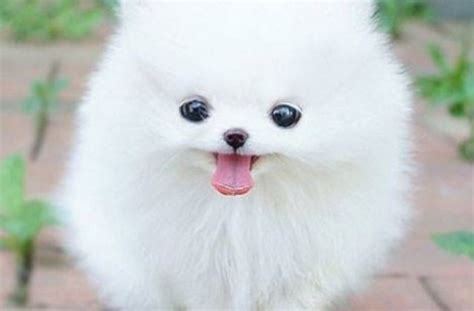 small white fluffy small white fluffy wallary tag for picture of dogs that stay litle pups