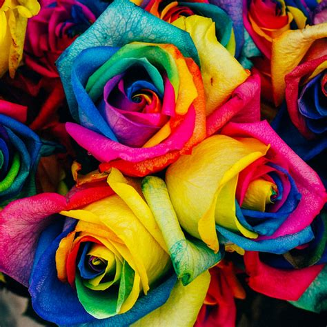 25 Rare Holland Rainbow Rose Flower Seeds ? Rama Deals