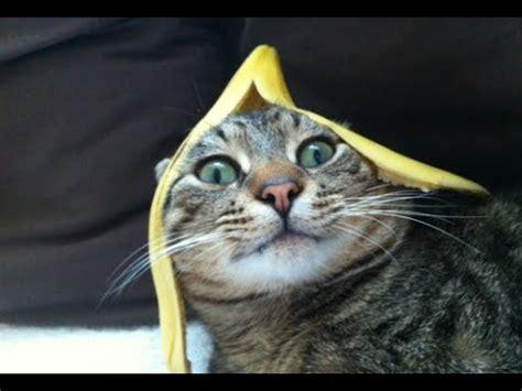 banana kitten named orfey cats cats vs bananas with cats