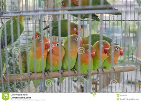 colourful lovebirds in a cage royalty free stock photo
