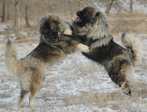 caucasian shepherd caucasian shepherd dogs breeds pets