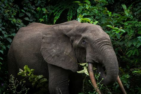 an forest elephant returns from the in gabon wildlife photography page 143 expedition portal