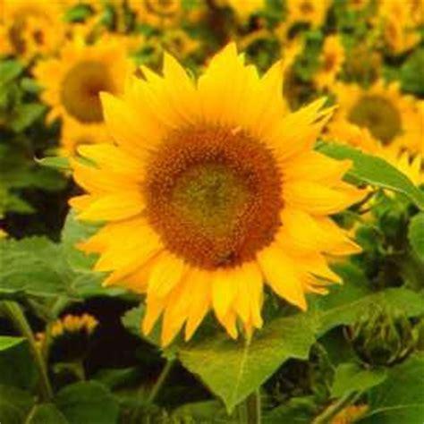 foto wallpaper bunga matahari gambar foto aneh unik gambar bunga aneh