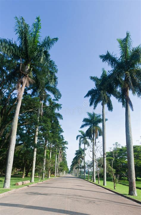 De Brazil Palm Gardens by Palm Trees In Botanical Gardens Sao Paulo Stock Image