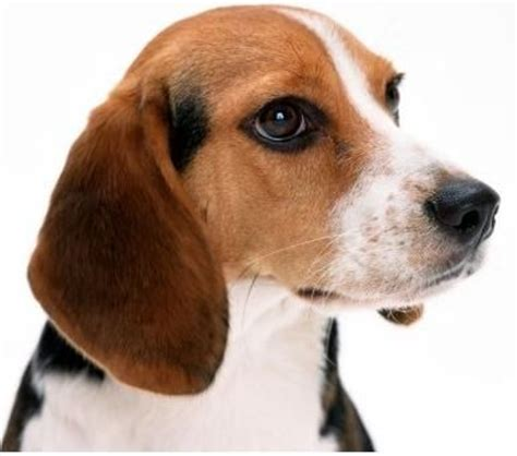 bench beagle 47 best images about beagle love on pinterest bench legs