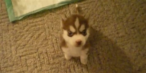 husky puppy gif the most adorable 12 second of the day this husky puppy huffpost uk