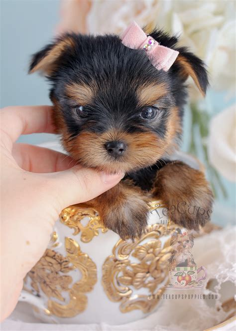 yorkie faq terrier puppy for sale south florida teacups puppies boutique