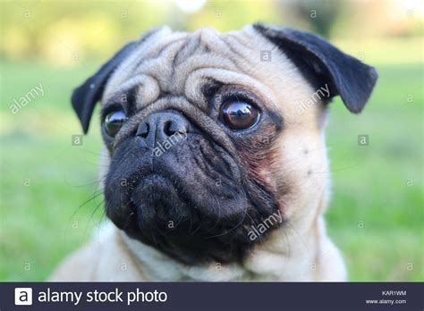 pug 1 year pug stock photos pug stock images alamy