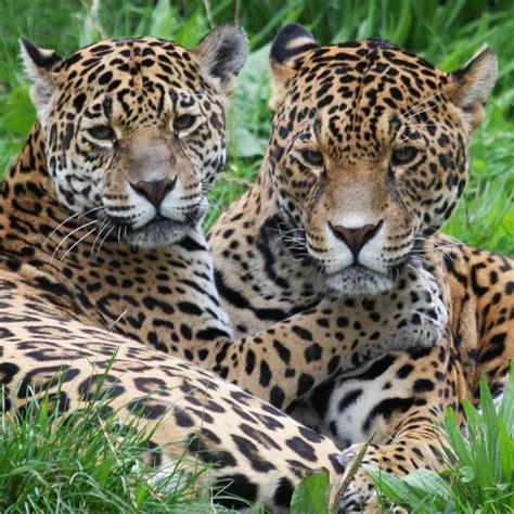 is jaguar endangered endangered earth jaguars set to win 838 000 protected acres