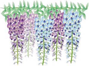 wisteria flower free illustration wisteria flowers japan free image