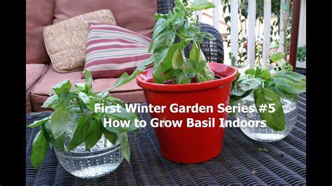 winter garden series    grow basil indoors