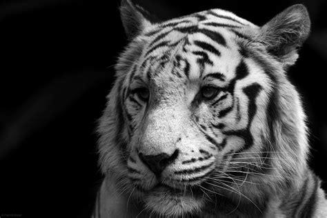 wallpaper black tiger hd white bengal tiger wallpapers wallpaper cave