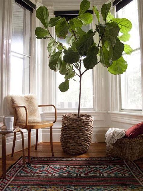 interiors exteriors fiddle leaf fig  brunette