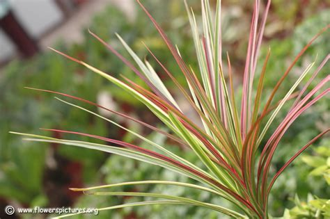 madagascar dragon tree dracaena marginata and 33 similar dracaena marginata dragon tree related keywords dracaena