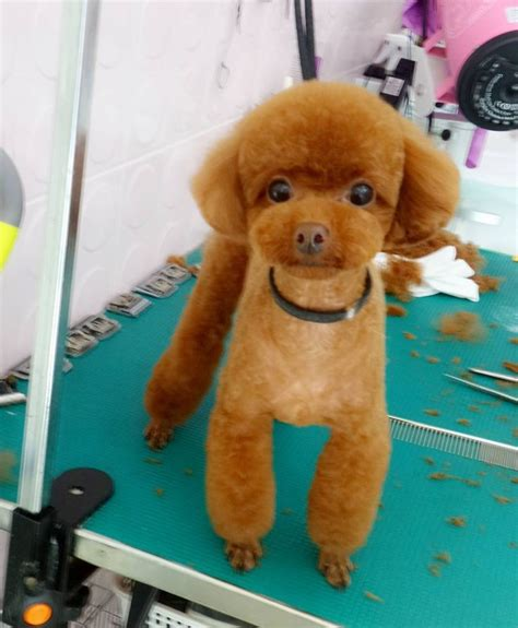 Poodle Hairstyles by 87 Best Poodle Grooming Hairstyles Images On