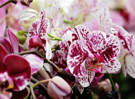 phalaenopsis orchid bloom cycle