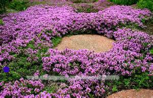 teppich thymian bodendecker thymus serpyllum magic carpet meze