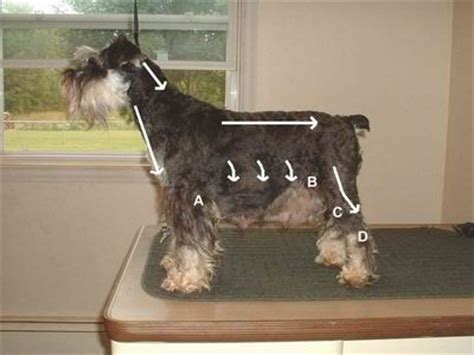 schnauzer hair cut step by step videio 91 best images about schnauzer grooming tips on pinterest