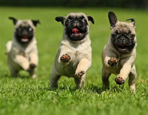 cutest pug puppies 1233 best pug puppies images on baby pugs pug puppies and